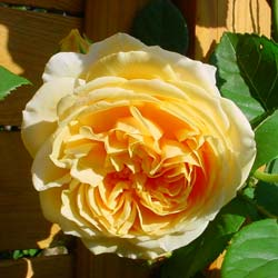 Rose 'Teasing Georgia'